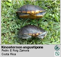 Tortuga de Ciénaga de Pecho Quebrado [es] ,<br/> Narrow-bridged Mud Turtle[en] <span style='float:right;'> [1-2]</span>