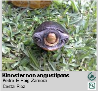 Tortuga de Ciénaga de Pecho Quebrado [es] ,<br/> Narrow-bridged Mud Turtle[en] <span style='float:right;'> [1-3]</span>