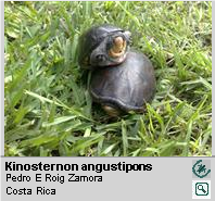 Tortuga de Ciénaga de Pecho Quebrado [es] ,<br/> Narrow-bridged Mud Turtle[en] <span style='float:right;'> [1-5]</span>
