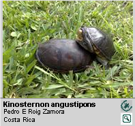 Tortuga de Ciénaga de Pecho Quebrado [es] ,<br/> Narrow-bridged Mud Turtle[en] <span style='float:right;'> [1-6]</span>
