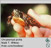 Chrysemys picta