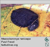 Mesoclemmys raniceps